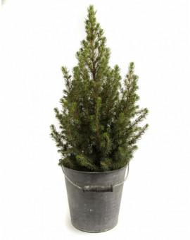 Пицея Коника /Picea glauca Conica/