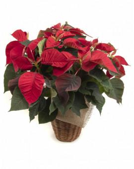 Коледна звезда / Euphorbia pulcherrima/