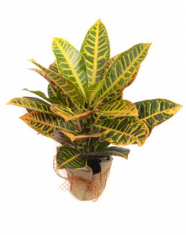 Кротон /Codiaeum variegatum pictum/